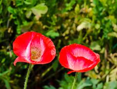 Red opium poppy flower Stock Photos