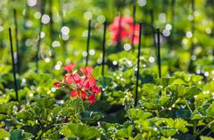Young geranium plants in a greenhouse Stock Photos