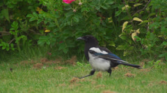 Magpie Stock Footage