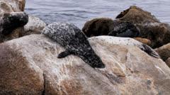 Harbor seal sliding Stock Footage