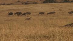 Lion hunting wildebeests Stock Footage