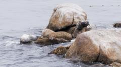 Harbor seals Stock Footage