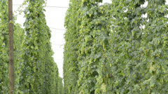 Hop-garden in vegetation Stock Footage