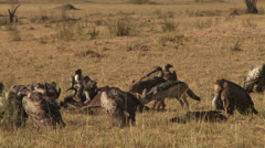 Black backed jackal eating a gnu while vultures wait for their turn 1 Stock Footage