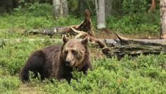 Brown Bear in forest Stock Footage