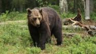 Stock Video Footage of Brown Bear in woodland