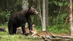 Bear in forest - stock footage