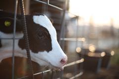 Calf at sunrise Stock Photos