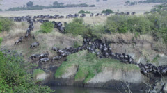 Wildebeests migration in mara river Stock Footage