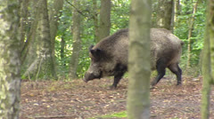 European wild boar (sus scrofa) runs in forest - tracking shot Stock Footage