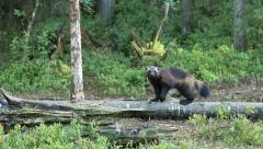 Wolverine in the wild - stock footage