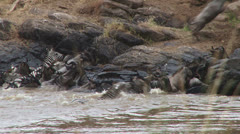 Wildebeests group together crossing mara river Stock Footage