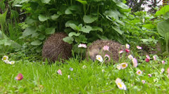 Pair of European Hedgehogs (Erinaceus europaeus) foraging in garden Stock Footage