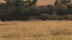 Wildebeests running from a lion Stock Footage