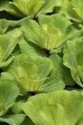 Green Duckweed - stock photo