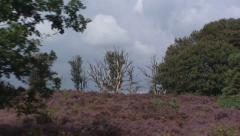Vehicle shot heath landscape, Heather, Calluna vulgaris Stock Footage