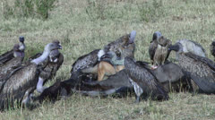 Black backed jacal eating a gnu while vultures wait for their turn 5 Stock Footage