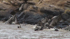 Wildebeests and zebras fight for space at a river crossing exit Stock Footage
