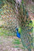 Stock Photo of Madrid, green beautiful peacock