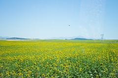 Stock Photo of field of sunflowers in the summer in the sun