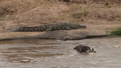 A crocodile guarding a kill Stock Footage