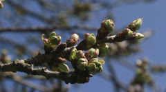 Cherry flower buds old fruit tree branch against blue sky Stock Footage