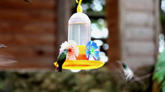 Hummingbird  - Green Throat and other_9818 Stock Footage