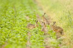 Four hares playing in field Stock Photos