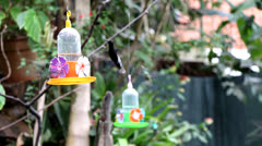 Black Jacobin Hummingbird and other_9780 Stock Footage