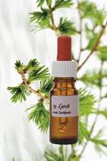 Bottle with Bach Flower Stock Remedy, Larch (Larix), close-up - stock photo