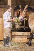 Farmer ruokinta heinää hevosten vakaa Kuvituskuvat