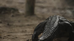 Shot of Alligator From Behind - stock footage