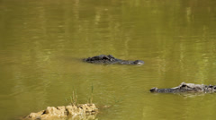 Alligators Swimming in Green Water - stock footage