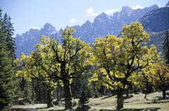 Stock Photo of Germany Hinterriss/Eng, Big Ahornboden, Trees in valley