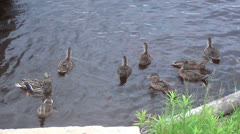 Duck family racing for food 21 sec Stock Footage