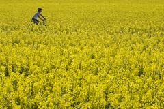 Germany, Bavaria, Oberland, Woman mountain biking across rape field Stock Photos