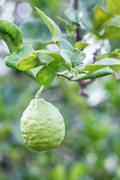 the bergamot fruit - stock photo
