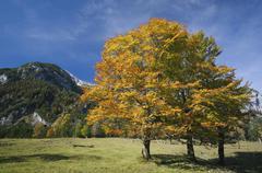 Austria, Ahornboden, Autumnal maple tree - stock photo