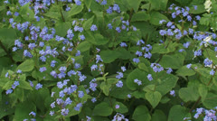 Brunnera macrophylla, Heartleaf, Siberian bugloss or False Forget me Not Stock Footage