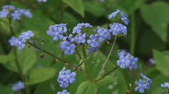 Brunnera macrophylla, Heartleaf, Siberian bugloss, Forget me Not - close up Stock Footage