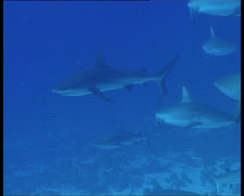 SharksOnReef1-JPEG 75 PAL - stock footage