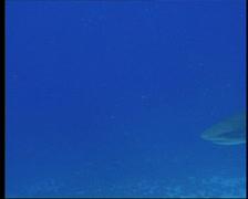 SharksOnReef2-JPEG 75 PAL - stock footage