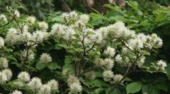 Fothergilla major, Mountain witchalder - zoom out garden Stock Footage
