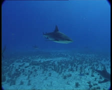 SharksOnReef4-JPEG 75 PAL Stock Footage