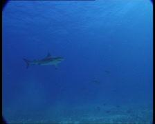 SharksOnReef5-JPEG 75 PAL - stock footage