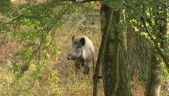 European wild boar (sus scrofa) foraging Stock Footage
