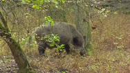 Stock Video Footage of European wild boar (sus scrofa) grubs in forest
