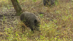 Solitary European wild boar (sus scrofa) wanders in forest Stock Footage