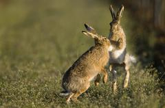 Hares in field Stock Photos