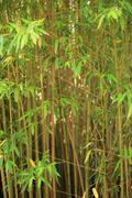 Stand of ornamental bamboo Stock Photos
